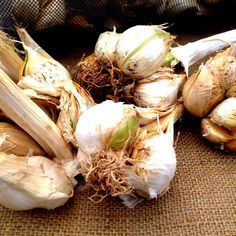 Elephant Garlic Information, Recipes and Facts