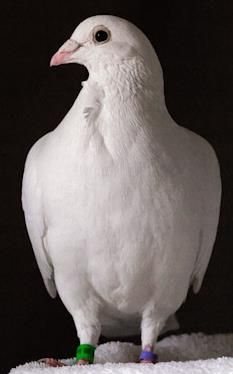 White Racing Pigeon