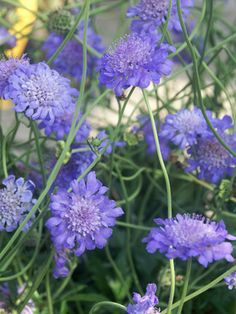 Butterfly Blue Scabiosa are extremely long blooming compact, clump-forming perennials. Multiple pincushion-shaped flowers produced all season. Shades of purples, bluish and pinks. Needs well drained soil.