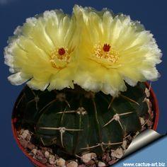 Notocactus macracanthus
