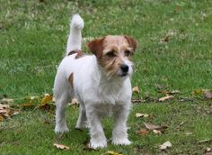 Jack Russell terrier#Dogs#Gigi = Jack Beauty Givenchy (Jack Beauty kennel)
