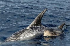 Taiji Update: A small pod of about 8 Risso's Dolphins has been slaughtered, including a baby. There are no survivors.