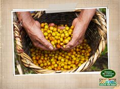 Fair Trade Fact: A coffee picker can gather approximately 100-200 pounds of coffee cherries each day. #ChooseFairTrade