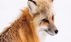 Red fox Red Fox, Animals, Animales, Animaux, Animal, Animais