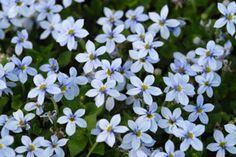 Pratia pedunculata - Blauer Bubikopf