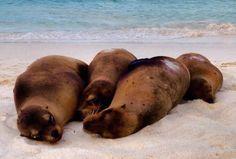 Four cute sea lions on Gardner Bay beach, Espanola in the Galapagos Islands