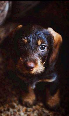 Wirehair Dachshund puppy