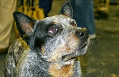 Australian Cattle Dog - no finer breed! I miss my boy. All Dogs, Best Dogs, Dogs And Puppies, Us Vets, Herding Dogs, Australian Cattle Dog, Happy Dogs, Mans Best Friend, Dog Love