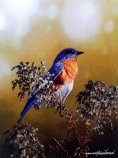 Jim Hansel Eastern Bluebird