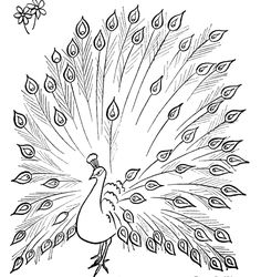 peacock open tail drawing | peacocks colouring pages (page 2)