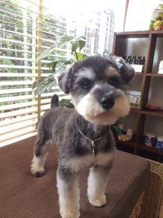 The traits we admire about the Energetic Miniature Schnauzer Puppy Source by blueskyahead The post The traits we admire about the Energetic Miniature Schnauzer Puppy appeared first on Gwen Howarth Dogs. Schnauzers, Schnauzer Breed, Schnauzer Grooming, Miniature Schnauzer Puppies, Dog Grooming, Cute Puppies, Cute Dogs, Miniature Schnauzer Black, Daisy Dog