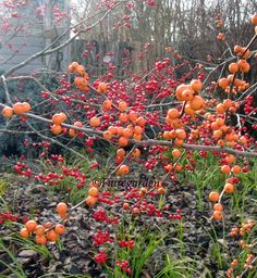 winterberry holly | Winterberry hollies-Fairegarden