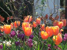 Tulips during spring 2012