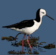 Poaka (Pied Stilt) on Photo Block Photo Blocks, Photo Reference, New Zealand, Birds, Website, Digital, Prints, Painting, Animals