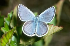 The Kamer Blue Butterfly was going the way of extinction. Already totally gone from 3 states, they're now back on the rise, with conservation efforts. Lupines and the loss of their habitat, reduced this butterly's food table, so that they were perishing, also.
