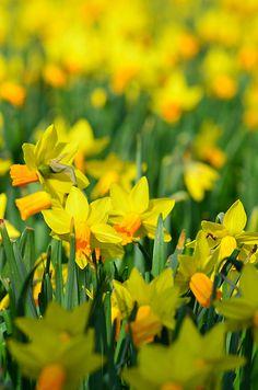 Daffodils !
