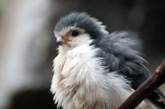 This Baby Falcon is so Fluffy