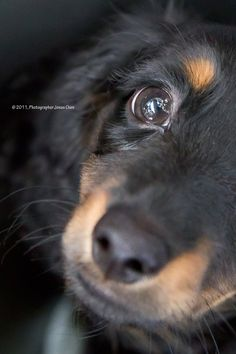Cute Dachshund! Great photo! Pet Photography | Puppy Dog | Portrait | Portraits