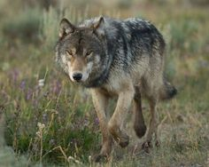 Gray wolf of Yellowstone National Park, Wyoming by lolita
