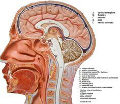 Anatomy Brain Model Brain Anatomy Model Labeled   Humananatomybody