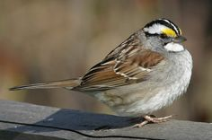 The White-Throated Sparrow is often nicknamed the Canada bird or the Peabody bird. It loves to eat seed from backyard tray and platform feeders.
