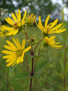Image result for Silphium integrifolium ROSINWEED