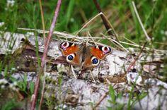Peacock Butterfly on a decaying Birch log. �� . . . . #unitedkingdom #uk #greatbritain #britain #england #english  #preston #lancashire #lancs #theshire #thenorth #upnorth #outdoors #adventure #travel #explore #nature #wildlife #rural #rustic #animals #naturereserve #brockholesnaturereserve #photography #peacockbutterfly #butterfly http://tipsrazzi.com/ipost/1518279569026447298/?code=BUSAzlNjffC