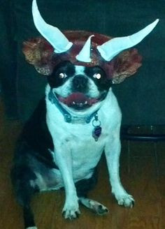 Funny Bosties - Captions and Memes   Boston Terrier Friendzy