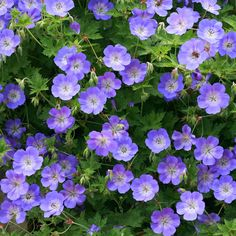 Geranium 'Rozanne' - A celebrated Cranesbill producing masses of saucer shaped, violet-blue blooms with dainty white centres. Being a sterile hybrid, Geranium 'Rozanne' flowers repeatedly throughout the summer and won't self-seed like other Geraniums. This hardy perennial makes excellent ground cover through the front of informal borders or spilling from containers. As summer ends the loose mounds of foliage colour to reddish brown and fiery orange for an extended display into autumn…