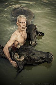 Embracing Buffalos - Buffalo herder giving his Buffalos a holy dip in river Ganges, Varanasi, India.