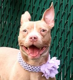 CHERRY - A1114243 - - Manhattan listed 06/09/17: now? ****MUST BE PULLED BY A NEW HOPE RESCUE**** A volunteer writes: Cherry is a pretty spring flower. She is beauty personified, and passersby are all oohs and ahhs. She is mostly quite serious looking, but a squeaky toy puts at times a smile on her face. I have to be so quick to catch it with my camera. She has tall ears that could send her flying high in the sky, and eyes that are as clear as a green lagoon. Cherry, a