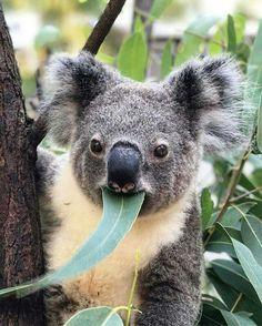 How cute is this little guy at Currumbin Wildlife Park in Queensland, my hometown state where I was born? Perth, Koala Tattoo, Australia Animals, Quokka, Cute Baby Animals, Cute Babies, Creatures, Koala Bears, Australia Trip