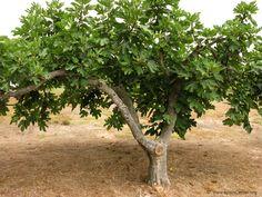 La Higuera Baumgarten, Agapanthus, Nature Plants, Fig Tree, Garden Trees, Go Green, Vegetable Garden, Fruit, Secret Gardens