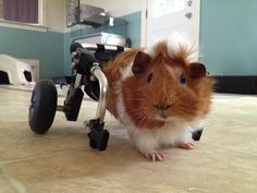 This is a guinea pig (cavy) that is paralyzed that's why they gave him a wheelchair. Baby Guinea Pigs, Guinea Pig Care, Pet Pigs, Animals And Pets, Baby Animals, Cute Animals, Pigs Eating, Guniea Pig, Guinea Pig Bedding