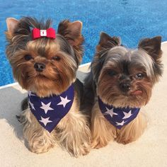 """Gus And Rosie on Instagram: """"Happy 4th of July! #usa ________________________________________Treat your USA lovin' self, use code [GUSANDROSIE] to get 18% OFF any new @BarkBox subscription! PARTY ON MOTHERPUPPERS. #PantsAndHatsParty"""""""