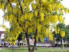 Lluvia de oro - Laburnum anagyroides