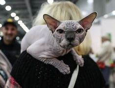 Moscow, Russia A Sphynx cat #SphynxCat