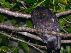 Grand Comoro Scops Owl (Otus pauliani). Photo by Alan Van Norman.