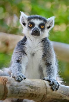 This lemur is not impressed ... (Photo by Ion Moe)