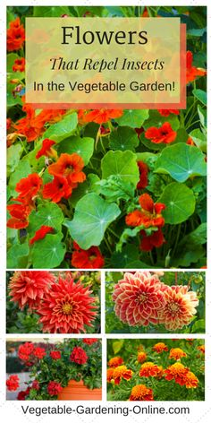 Companion Gardening companion planting flowers to repel garden pests Garden Insects, Garden Pests, Garden Planters, Garden Types, Organic Gardening, Gardening Tips, Organic Soil, Organic Insecticide, Companion Gardening