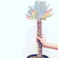 . 植欲の春 . 一つ目は大型のエケベリアと出会いました . 幹立ちしたアロエみたいです . というか握ってるみるとほんとしっかりした木エケベリアの概念が壊れました . ほんと植物は面白い . #エケベリア #ジュリア #Echeveria #gigantea #succulents #plants #多肉植物 #植物 #植物男子 #ボタニカルライフ #植物のある暮らし #幹立ち #木質化ラバー協会 #御神体シリーズ #植欲 #植欲の春 by tsuno77
