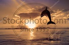 Stock photo of beautiful dolphin jumping from shining water - Beautiful dolphin jumped at the sunset time Dolphins, Stock Photos, Sunset, Water, Illustration, Beautiful, Gripe Water, Sunsets, Illustrations