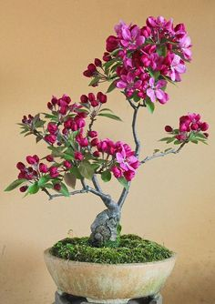bonsai-flower-plants-collection-for-interiors Bonsai flower plants are the miniature trees that are grown in containers as a form of Japanese art. Bonsai trees give much pleasant look to interiors. Mini Bonsai, Bonsai Apple Tree, Flowering Bonsai Tree, Japanese Bonsai Tree, Bonsai Trees For Sale, Bonsai Tree Care, Bonsai Tree Types, Indoor Bonsai Tree, Indoor Plants