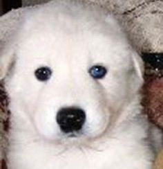 Loki a male White Arctic and Timber wolf hybrid puppy at 6 weeks old. Wolf Hybrid Puppies, Wolf Puppies, Wolf Dogs, Wolf Dog Breeds, Timber Wolf, Arctic, Loki, Husky, Old Things