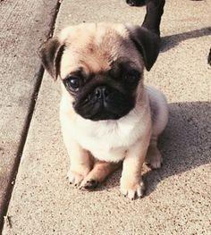 Pugs #dogs #pets #ShermanFinancialGroup