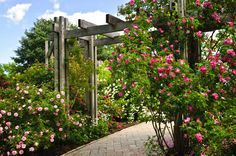 A simply constructed, unfinished trellis constructed above a stone pathway. Tall rosebushes cling to the sides of the trellis.