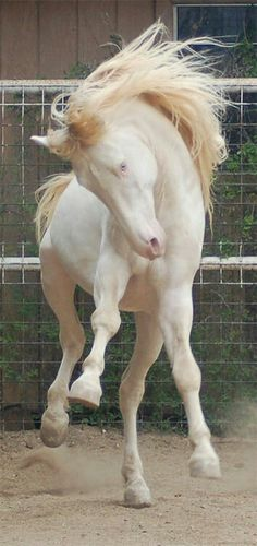 Beautiful Albino horse looks like he is dancing.