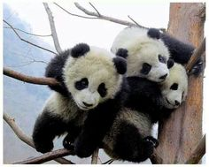 This is a selection of some of the most amazing Panda photographs out there. Will definitely make you to want to become a Panda yourself! most of them from the Panda Research Base in Chengdu. Baby Panda Pictures, Baby Animals Pictures, Bear Pictures, Animals Images, The Animals, Cute Baby Animals, Funny Animals, Wild Animals, Nature Animals