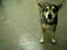 A1648620 is an adoptable Chihuahua Dog in Phoenix, AZ.  ...
