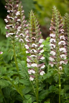 Acanthus balcanicus, 'bear's breech' at Longwood Gardens